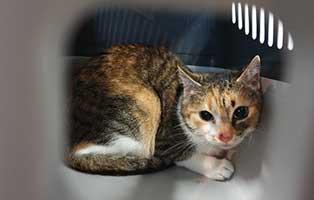 beschlagnahmung-46-katzen-wollaberg-katze-06-2-jahre 39 Katzen aus Animal Hording Haushalt beschlagnahmt