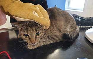 beschlagnahmung-46-katzen-wollaberg-katze-07-1-jahr 39 Katzen aus Animal Hording Haushalt beschlagnahmt