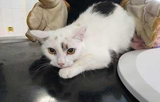 beschlagnahmung-46-katzen-wollaberg-katze-08-1-jahr 39 Katzen aus Animal Hording Haushalt beschlagnahmt