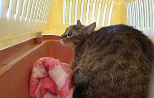 beschlagnahmung-46-katzen-wollaberg-katze-14-2-jahre 39 Katzen aus Animal Hording Haushalt beschlagnahmt