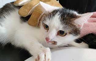 beschlagnahmung-46-katzen-wollaberg-katze-15-3-jahre 39 Katzen aus Animal Hording Haushalt beschlagnahmt
