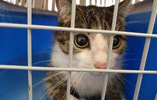 beschlagnahmung-46-katzen-wollaberg-katze-16-5-jahr 39 Katzen aus Animal Hording Haushalt beschlagnahmt