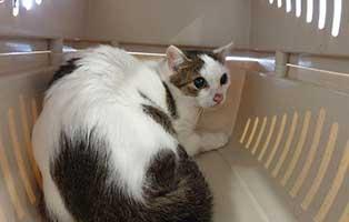 beschlagnahmung-46-katzen-wollaberg-katze-21-11-jahre 39 Katzen aus Animal Hording Haushalt beschlagnahmt