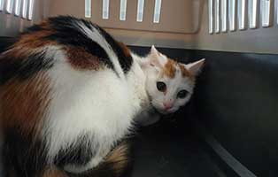beschlagnahmung-46-katzen-wollaberg-katze-22-4-jahre 39 Katzen aus Animal Hording Haushalt beschlagnahmt