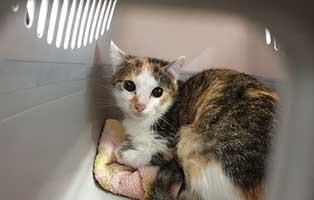 beschlagnahmung-46-katzen-wollaberg-katze-23-1-jahr 39 Katzen aus Animal Hording Haushalt beschlagnahmt