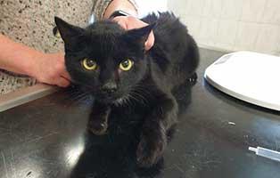 beschlagnahmung-46-katzen-wollaberg-katze-32-8-jahre 39 Katzen aus Animal Hording Haushalt beschlagnahmt