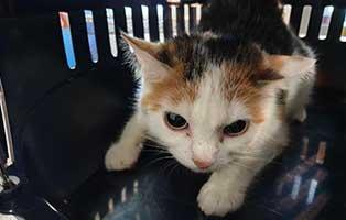 beschlagnahmung-46-katzen-wollaberg-katze-33-1-jahr 39 Katzen aus Animal Hording Haushalt beschlagnahmt