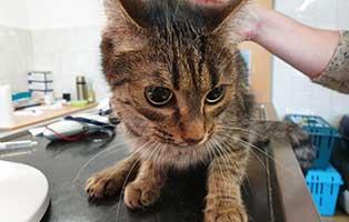 beschlagnahmung-46-katzen-wollaberg-katze-34-4-jahre 39 Katzen aus Animal Hording Haushalt beschlagnahmt