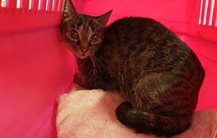 beschlagnahmung-46-katzen-wollaberg-katze-38-3-jahre 39 Katzen aus Animal Hording Haushalt beschlagnahmt