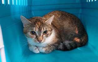 beschlagnahmung-46-katzen-wollaberg-katze-45-1-jahr 39 Katzen aus Animal Hording Haushalt beschlagnahmt