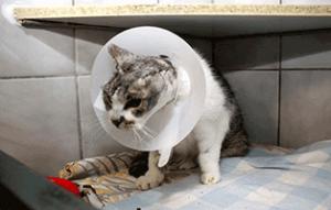 fundkatze-ohr-abgerissen-trudi-schaut-300x191 Katze mit abgerissenem Ohr braucht Ihre Hilfe