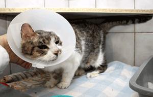fundkatze-ohr-abgerissen-trudi-trichter-300x191 Katze mit abgerissenem Ohr braucht Ihre Hilfe