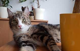 katzen-anton-kobold-gluecklich-vermittelt-schreibtisch Mausi fühlte sich gleich zuhause