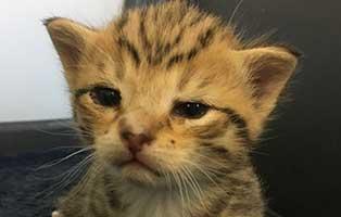 katzenbaby-12-bueckeburg 11 Kitten aus Bückeburg suchen einen Start-ins-Leben Paten