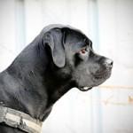 notfall-hund-cora-profil-1-150x150 Cora - Boxer-Labrador