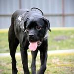 notfall-hund-cora-zunge-1-150x150 Cora - Boxer-Labrador
