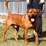 boxer-mix-tyson-patentier-tierschutzliga-dorf-1-150x150 Tyson (SH046/18)