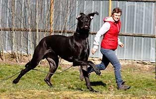 gluecklich-vermittelt-archie Riesenbaby Dogge Archie