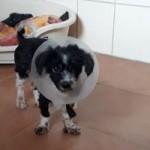 huendin-lina-notoperation-operiert-150x150 Verwahrloste Hündin Lina brauchte Notoperation
