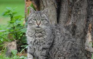 katzen-ratgeber-fellfarbe Zahnpflege bei Katzen