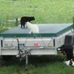 katzenauslauf-netzschkau-fortschritt-huenerstall-anhaeger-150x150 Bitte lasst uns nach draussen - Katzengehege für ansteckende Katzen