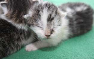 katzenbaby-SK203-maennlich 4 Katzenbabys aus Spremberg suchen Start-ins-Leben Paten