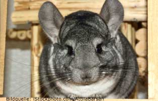 ratgeber-kleintiere-chinchilla Kleintierratgeber