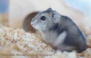 ratgeber-kleintiere-hamster-spielen Kaninchen & Meerschweinchen – Haustiere für Kinder?