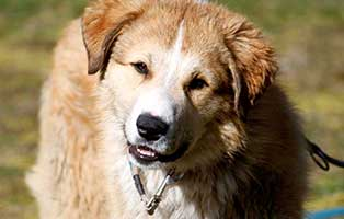 herdenschutzhund-yakari-sh063-operation-huefte Startseite