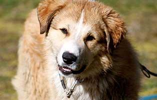 herdenschutzhund-yakari-sh063-operation-huefte Cora - Boxer-Labrador
