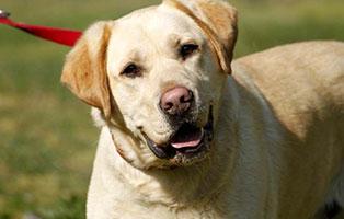 hund-nero-gluecklich-vermittelt Labrador Nero