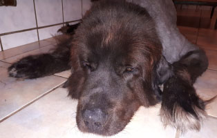 hund-simba-lungenentzündung Julias Leben ist gerade aus den Fugen geraten – Altenpfleger gesucht!