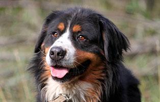 hund-bernhard-verstorben-portrait Elliot ist von uns gegangen - Leise und sanft kam der Tod
