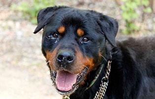 hund-kongo-verstorben-tierschutzliga-dorf-portrait Trauriges - wenn ein Tier die Regenbogenbrücke überquert