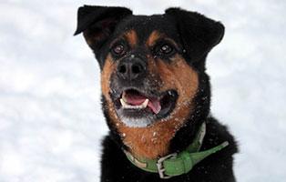 hund-rambo-verstorben-tierschutzliga-dorf-portrait Tipo – endlich frei