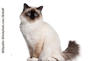 katzen-ratgeber-birma Katzenratgeber