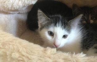 katzenbaby-bk126-19-maennlich-bueckeburg Hilfe für Louisa - Persermix Katze in Not
