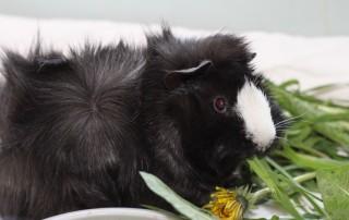 kleintier-ratgeber-meerschweinchen-kraeuter-320x202 Kleintierratgeber