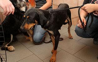 notfall-hund-h-174-19-weiblich 5 verlassene Hunde suchen Notfall Paten