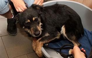 notfall-hund-h-176-19-maennlich 5 verlassene Hunde suchen Notfall Paten