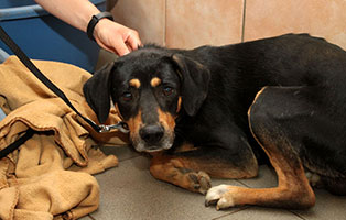 notfall-hund-h-178-19-maennlich 5 verlassene Hunde suchen Notfall Paten