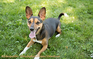 ratgeber-hunde-jack-russel-terrier Jack Russell Terrier