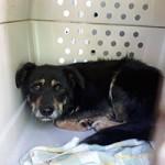 verwahrloste-hunde-befreit-hund-transportbox-150x150 5 verlassene Hunde suchen Notfall Paten