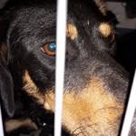 verwahrloste-hunde-befreit-hund-transportbox-gitter-150x150 5 verlassene Hunde suchen Notfall Paten