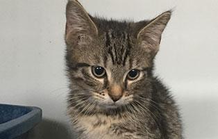 BK-129-maennlich 3 Katzenbabys aus dem Tierheim Bückeburg suchen Start-ins-Leben Paten