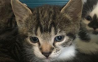 BK-151-maennlich Weitere 9 Katzenbabys aus Bückeburg suchen Start-ins-Leben Paten