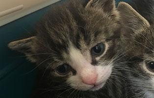 BK-155-maennlich Weitere 9 Katzenbabys aus Bückeburg suchen Start-ins-Leben Paten