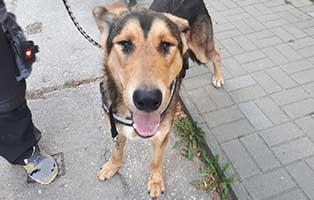fundhund-H250_19-bühlow Fundhund H250/19 vom 30.8.2019 aus 03130 Spremberg