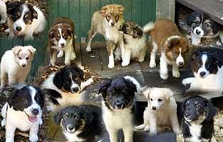 gluecklich-vermittelt-hundewelpen-SH013_19 Zuhause gefunden - Tierschutzliga Dorf
