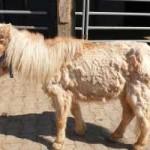 pony-klein-mogli-krank-150x150 Mogli - Shetlandpony (TP002/19)